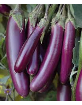 veg Brinjal long