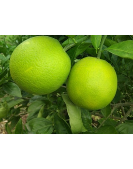Citrus Limetta or Mosambi
