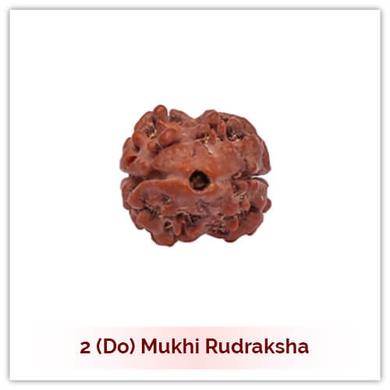 Siddh 2 (Do) Mukhi Rudraksha-118