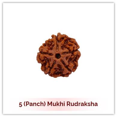 Siddh 5 (Panch) Mukhi Rudraksha-121