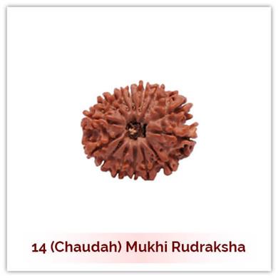 Siddh 14 (Choudah) Mukhi Rudraksha-130