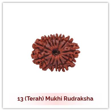 Siddh 13 (Terah) Mukhi Rudraksha-129