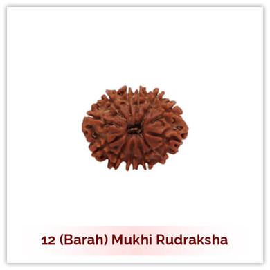 Siddh 12 (Baarah) Mukhi Rudraksha-128