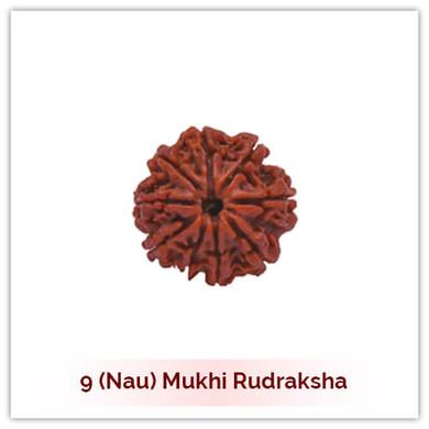 Siddh 9 (Nau) Mukhi Rudraksha-125