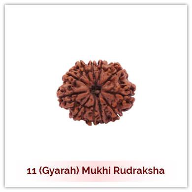 Siddh 11 (Gyarah) Mukhi Rudraksha-127