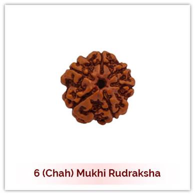 Siddh 6 (Chah) Mukhi Rudraksha-122