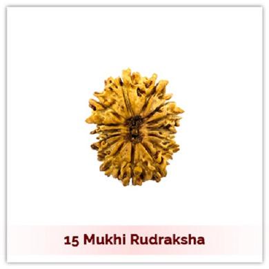 Siddh 15 (Pandrah) Mukhi Rudraksha-325